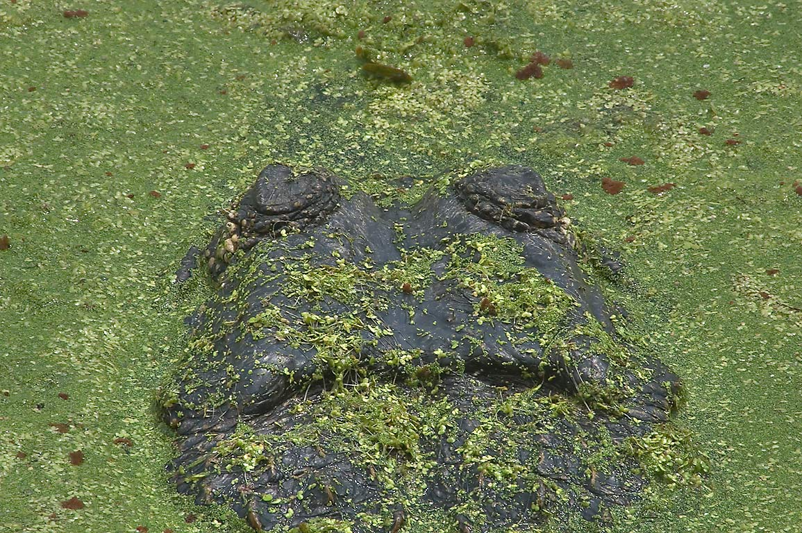 Alligator covered in green duckweed in west side...Bend State Park. Needville, Texas