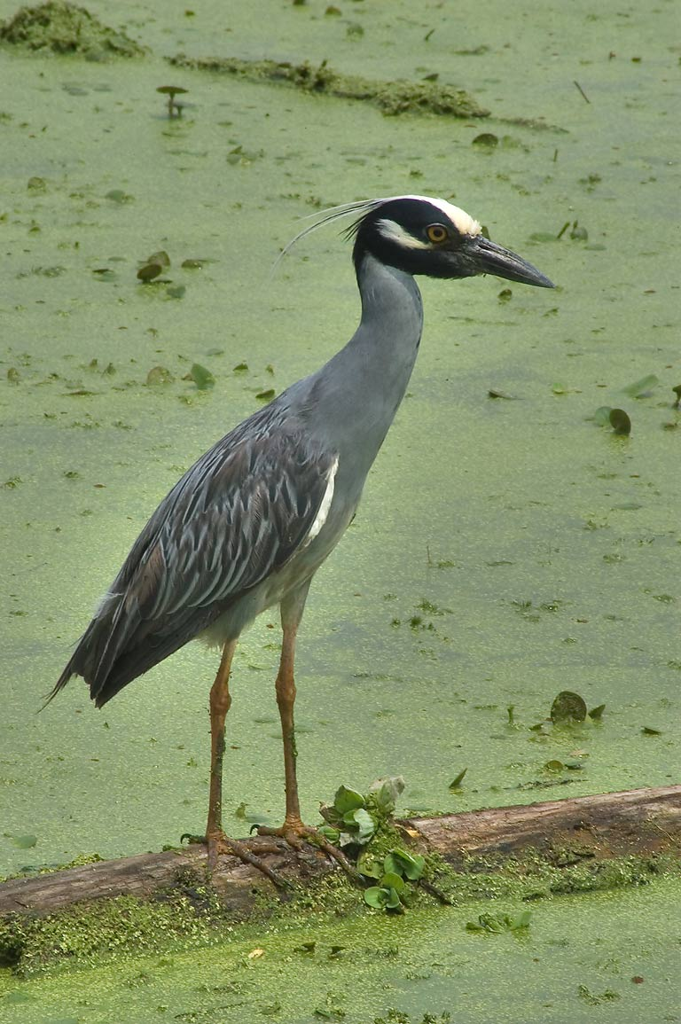 Yellow-crowned night-heron bird in west side of...Bend State Park. Needville, Texas