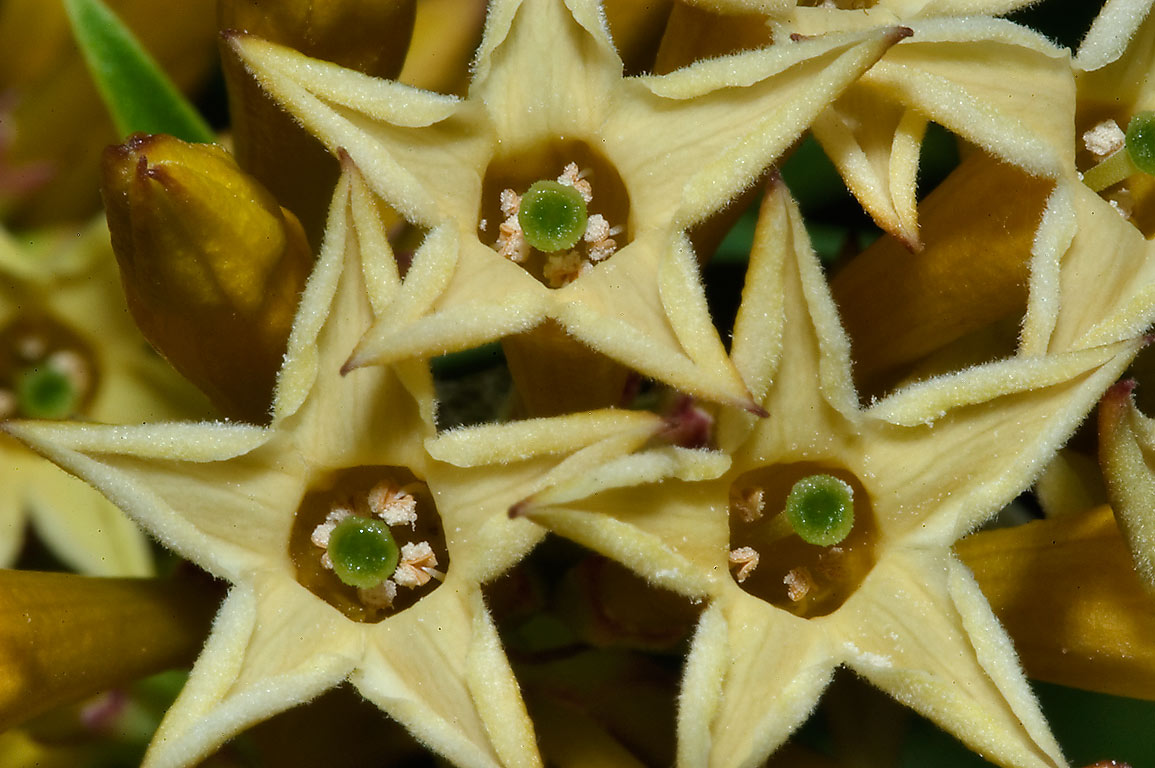Yellow star-like flowers of Cestrum aurantiacum...M University. College Station, Texas
