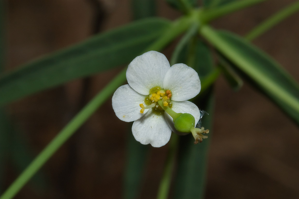 Small white flower of spurge Euphorbia corollata in Big Thicket park on Kirby Trail. Texas