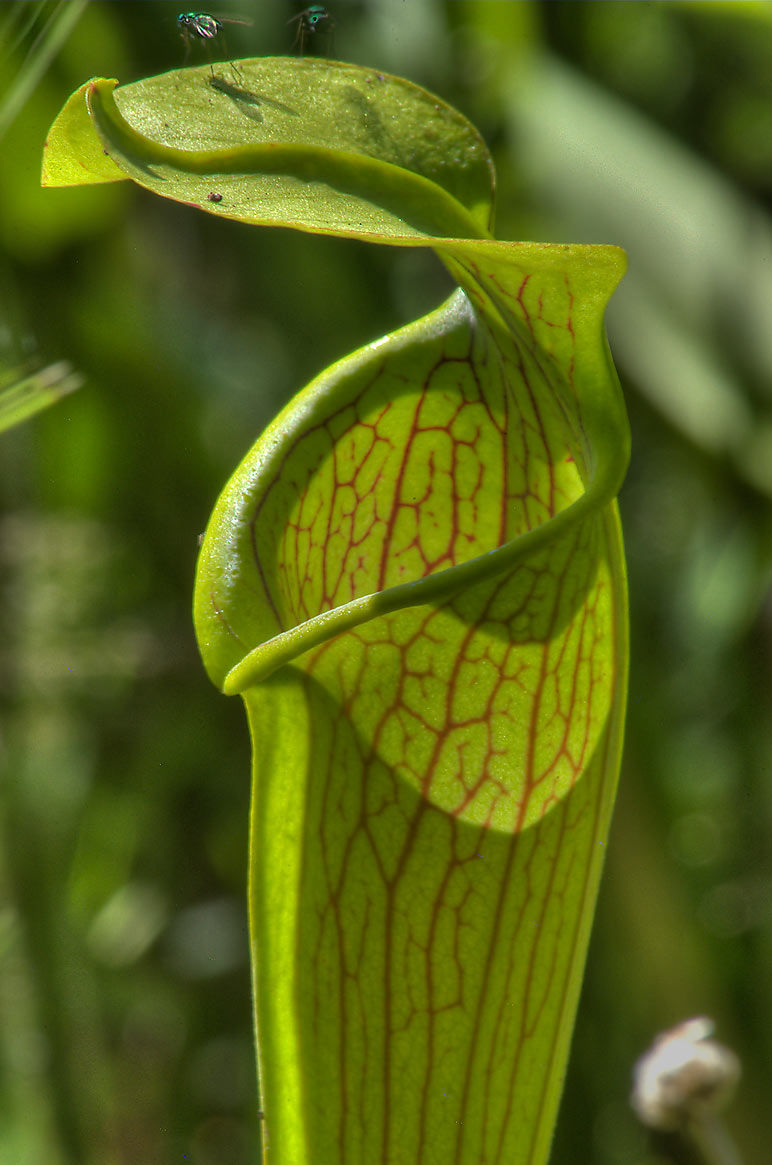 Long yellow-green trumpet-like leaf with a hooded...park on Pitcher Plant Trail. Texas