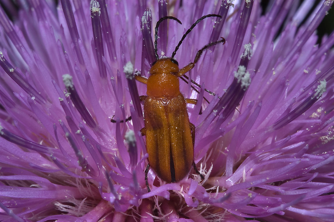 Blister beetle in genus Nemognatha on thistle...State Historic Site. Washington, Texas
