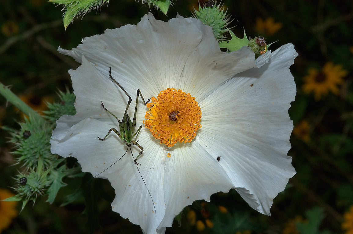 Prickly poppy flower with immature katydid in...State Historic Site. Washington, Texas