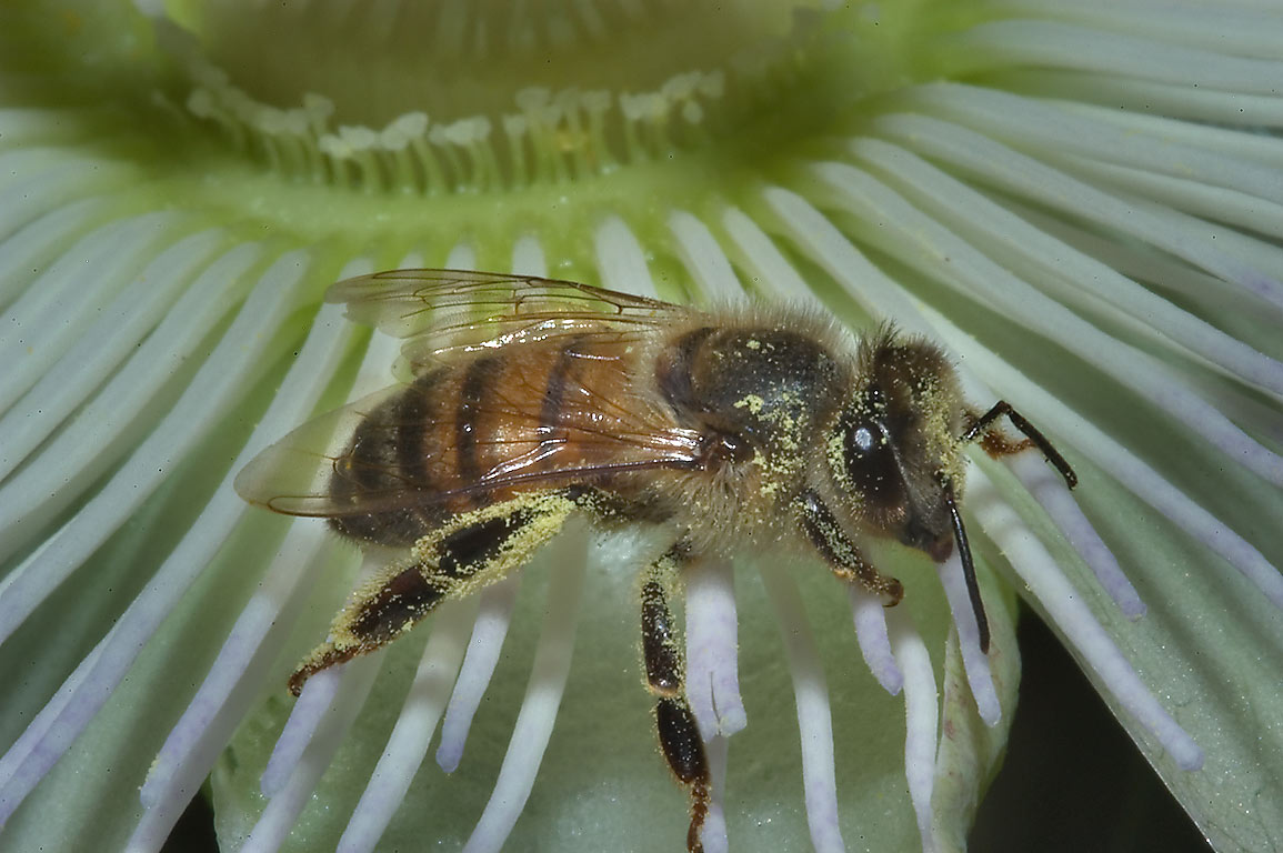 Bee on passiflora flower in TAMU Holistic Garden...M University. College Station, Texas