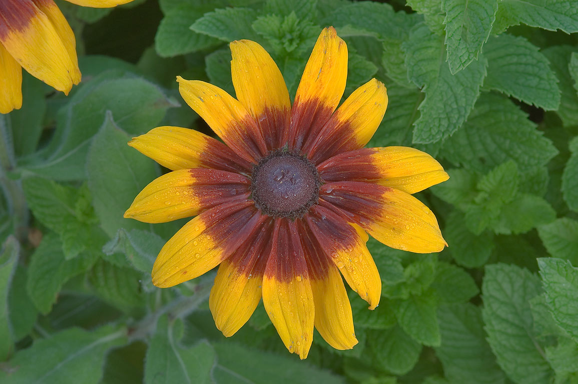 Black-eyed susan flower in TAMU Holistic Garden...M University. College Station, Texas