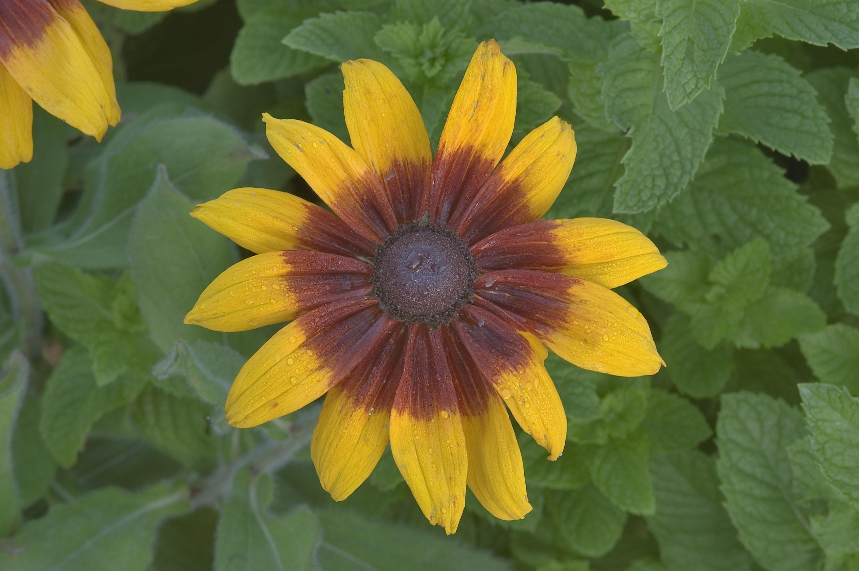 Photo 638 09 Black Eyed Susan Flower In Tamu Holistic