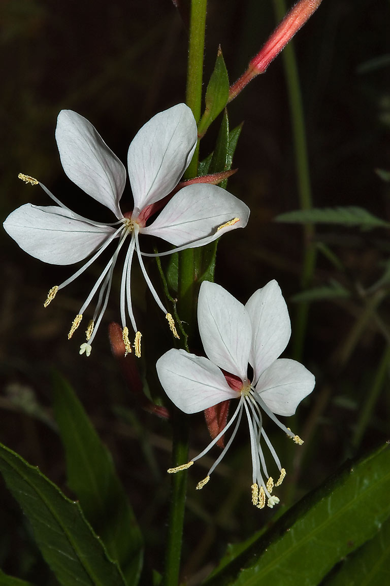 White gaura flowers in TAMU Holistic Garden in...M University. College Station, Texas