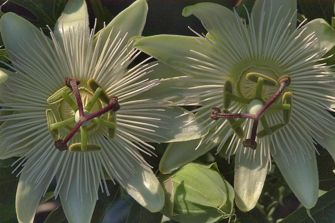 White passiflora flowers in TAMU Holistic Garden...M University. College Station, Texas