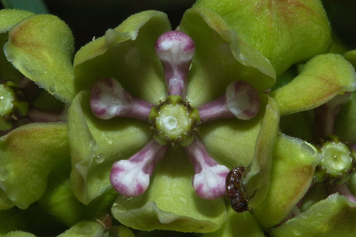 Flower of green milkweed (Antelope horns...Creek Park. College Station, Texas