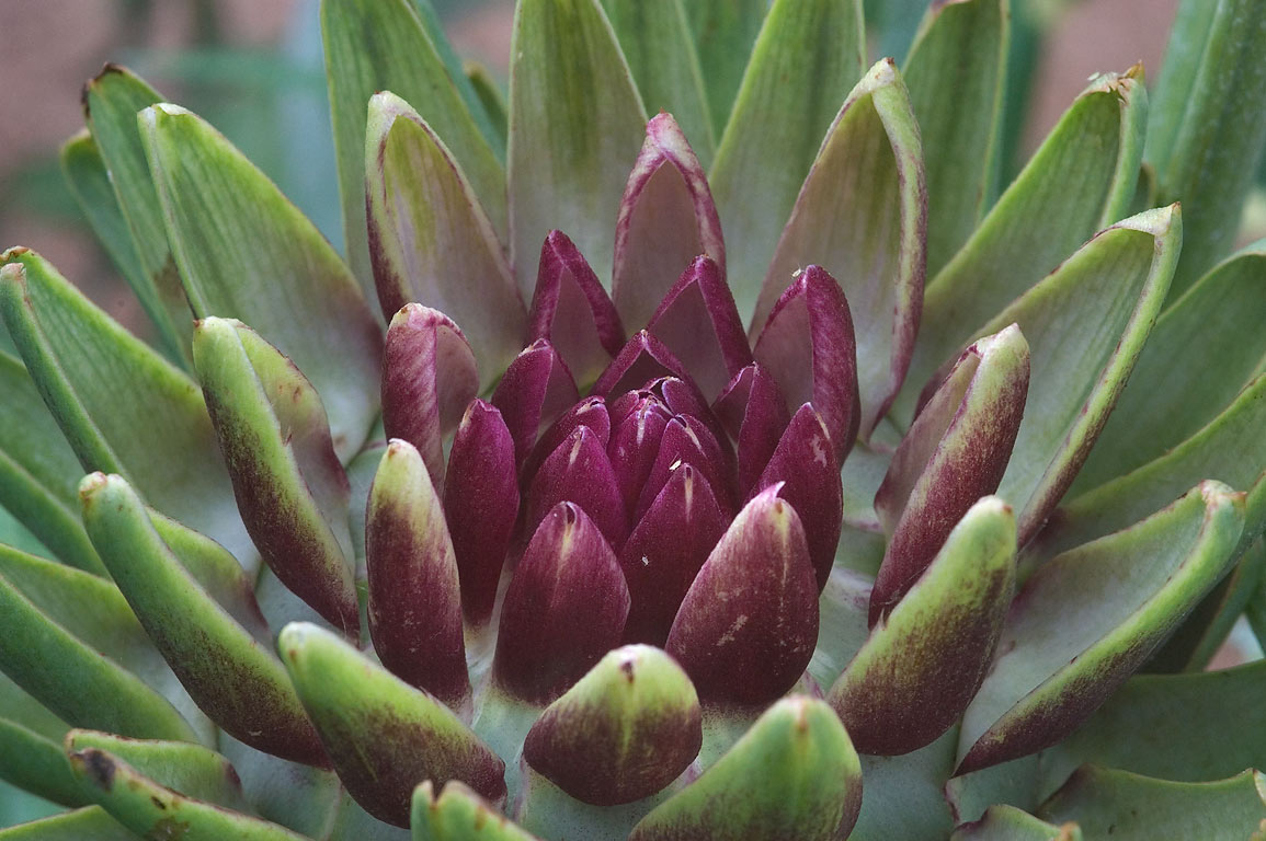 Triangular scales of a bud of artichoke flower...M University. College Station, Texas