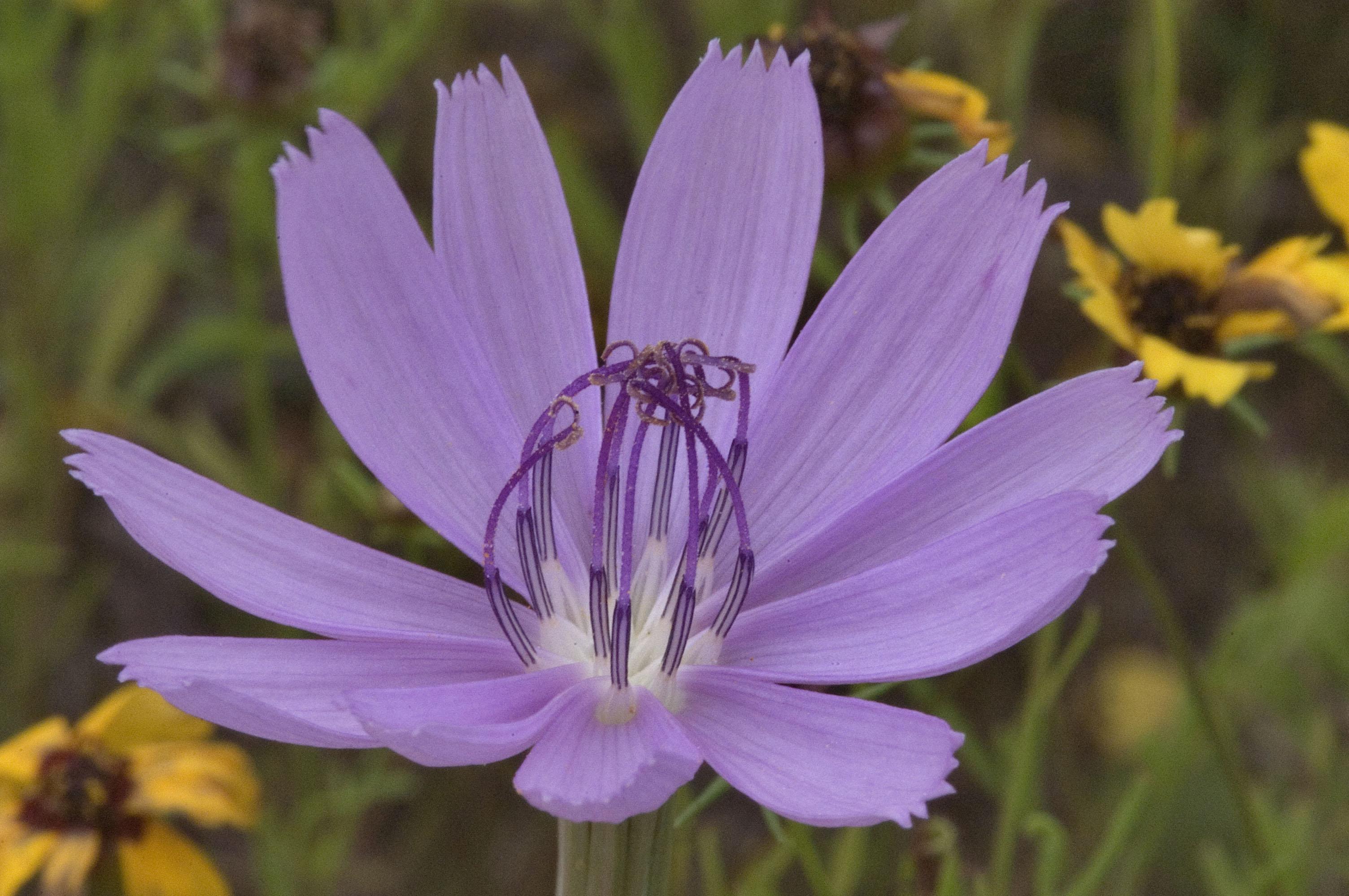 642 06 Skeleton plant Lygodesmia texana flower with Old Baylor Par