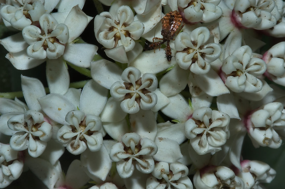 White milkweed with a bug on Four Notch Loop...National Forest. Huntsville, Texas