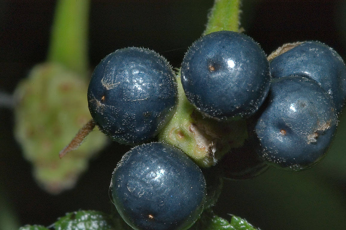Bluish-black shiny berries of Texas lantana in...M University. College Station, Texas