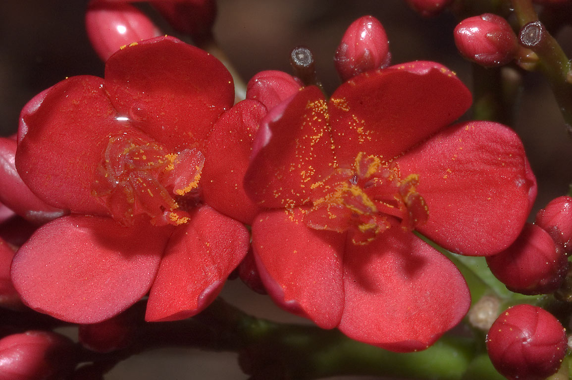 Red flowers of Jatropha integerrima (peregrina...M University. College Station, Texas