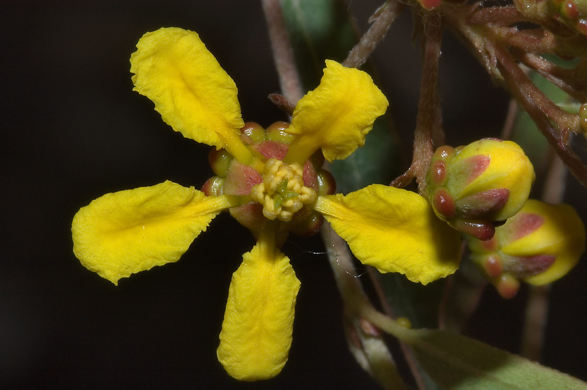 Yellow flower of Heteropterys (Heteropteris...M University. College Station, Texas