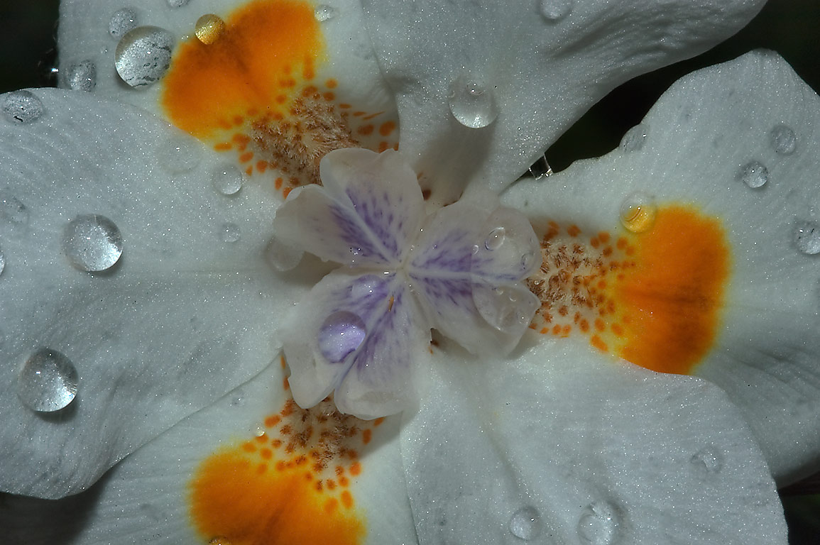 White Butterfly Iris (African iris, Dietes...M University. College Station, Texas