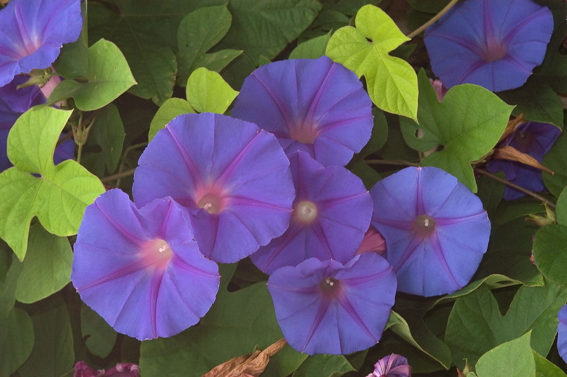 Blue morning glory (Ipomoea indica) flowers in...M University. College Station, Texas