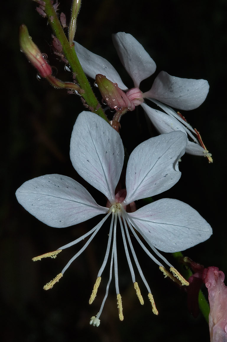 White gaura flower in TAMU Holistic Garden in...M University. College Station, Texas