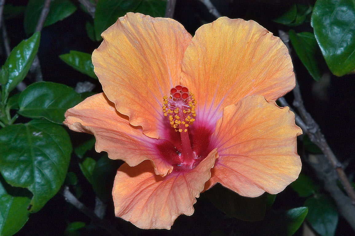 Orange hibiscus flower in TAMU Holistic Garden in...M University. College Station, Texas