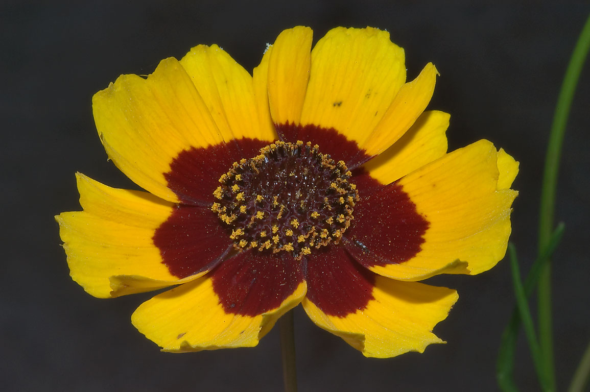 Coreopsis flower in TAMU Holistic Garden in Texas...M University. College Station, Texas