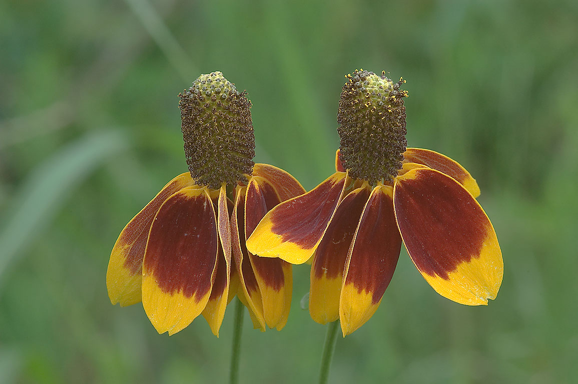 Photo 644-14: Two Mexican Hat Flowers (Ratibida