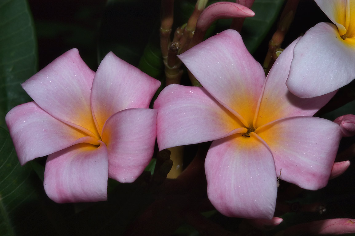 Waxy pink flowers of calachuchi (frangipani...M University. College Station, Texas