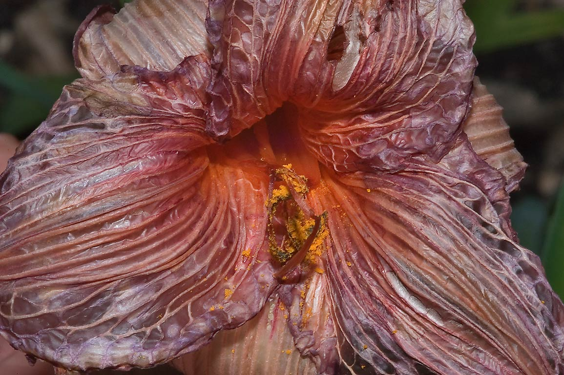 Dried daylily (Hemerocallis) flower in TAMU...M University. College Station, Texas