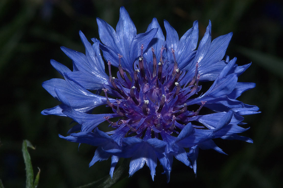 Cornflower (Centaurea cyanus, Bachelor's button...M University. College Station, Texas