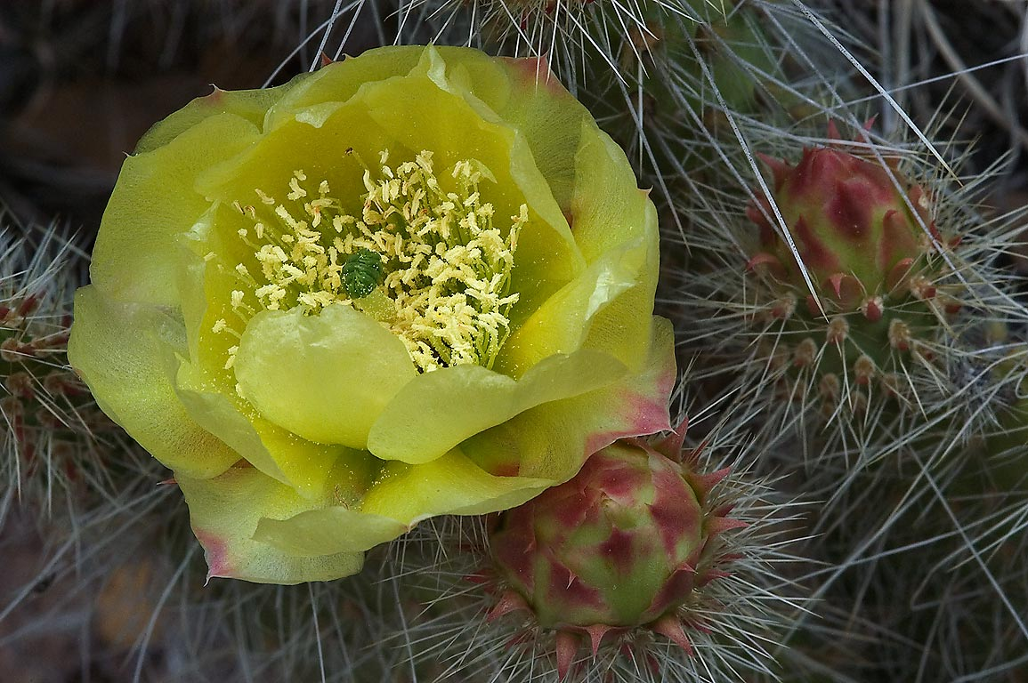 Blooming prickly pear cactus north from Capulin...Monument. New Mexico, near Los Alamos