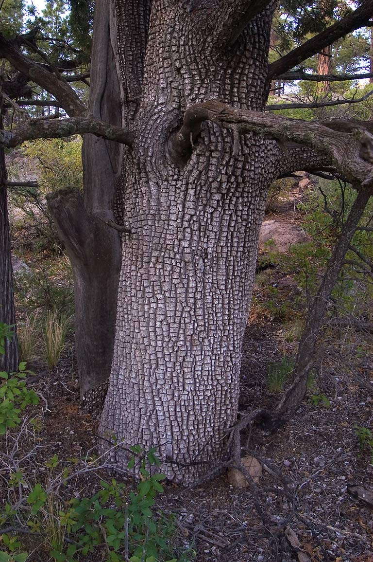Alligator juniper north from Capulin Canyon in...Monument. New Mexico, near Los Alamos