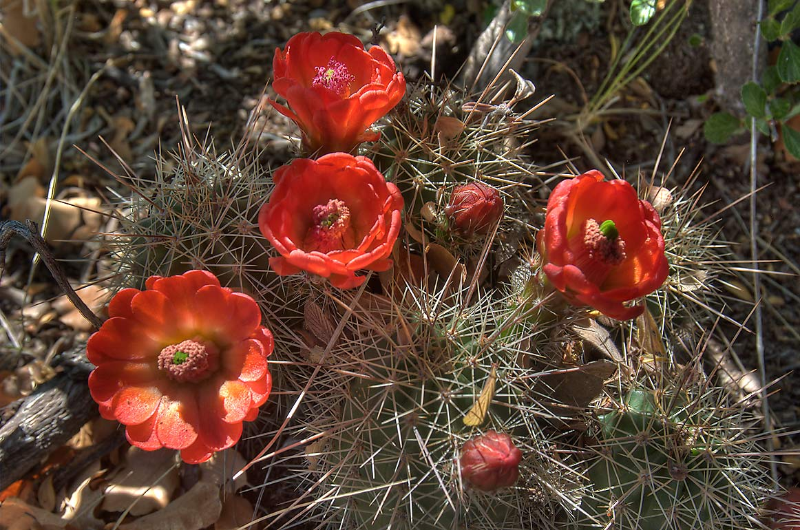 Claret cup cactus near Yapashi in Bandelier National Monument. New Mexico, near Los Alamos