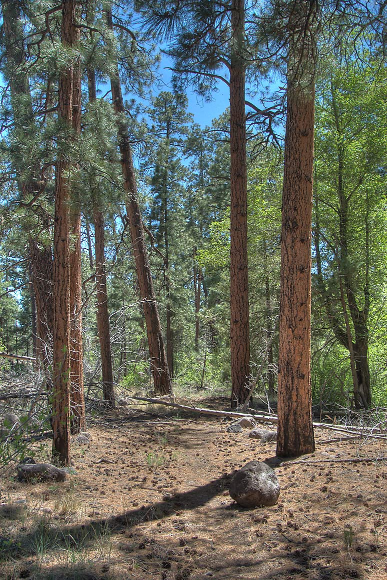 Trail through pine forest at the bottom of...Monument. New Mexico, near Los Alamos