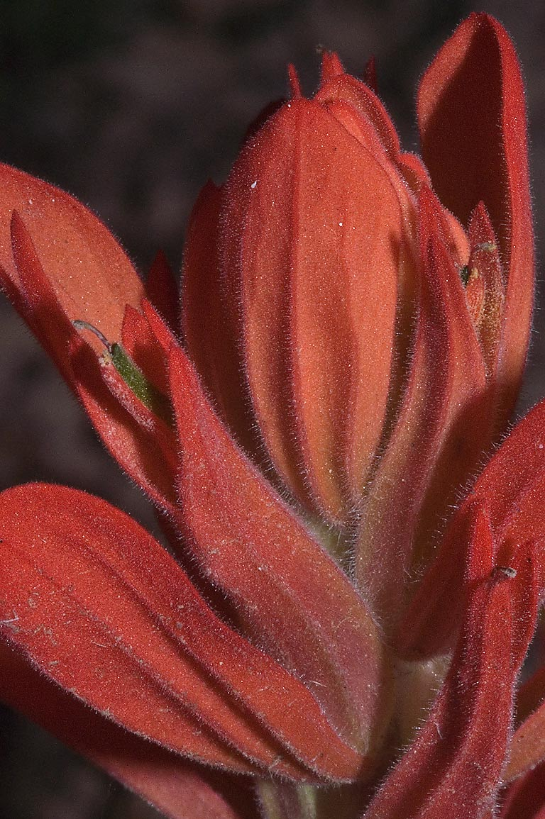 Foothills paintbrush (Castilleja integra) flower...Monument. New Mexico, near Los Alamos