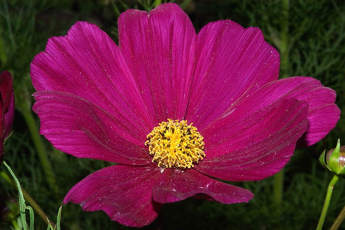 Cosmos flower in TAMU Horticultural Gardens in...M University. College Station, Texas
