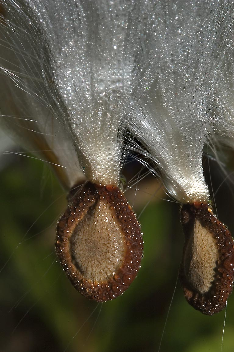 Milkweed seeds with attached coma (tuft of fluff...State Historic Site. Washington, Texas