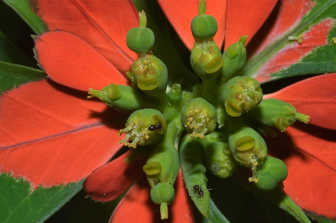 Wild poinsettia (Euphorbia cyathophora) with fire...M University. College Station, Texas