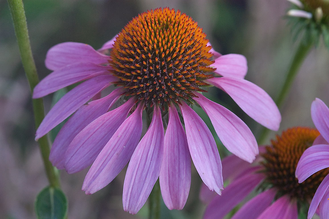 Purple coneflower (Echinacea purpurea) in TAMU...M University. College Station, Texas
