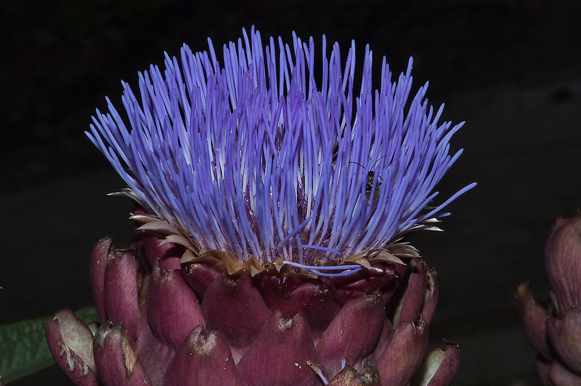 Artichoke flower (Cynara cardunculus) in TAMU...M University. College Station, Texas