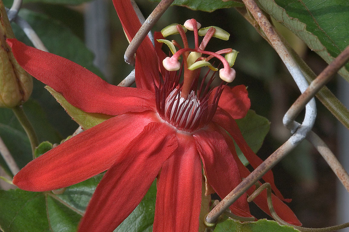 Red passiflora (passion flower) in TAMU...M University. College Station, Texas