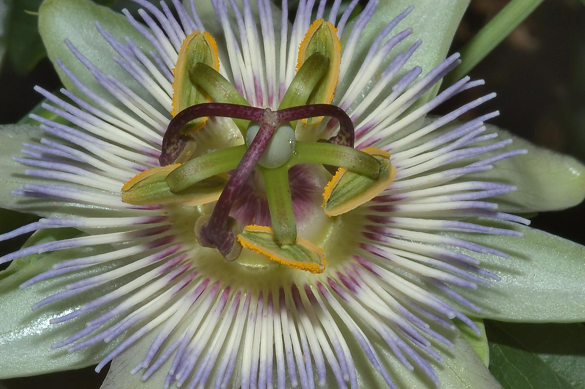 Passiflora flower in TAMU Horticultural Gardens...M University. College Station, Texas