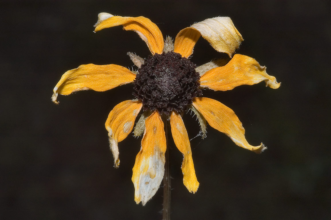 Dried black eyed susan flower in Lick Creek Park. College Station, Texas