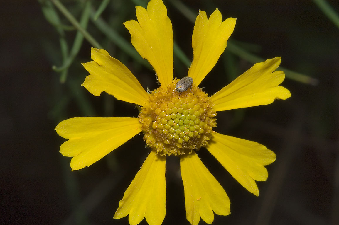 Sneezeweed flower in Lick Creek Park. College Station, Texas
