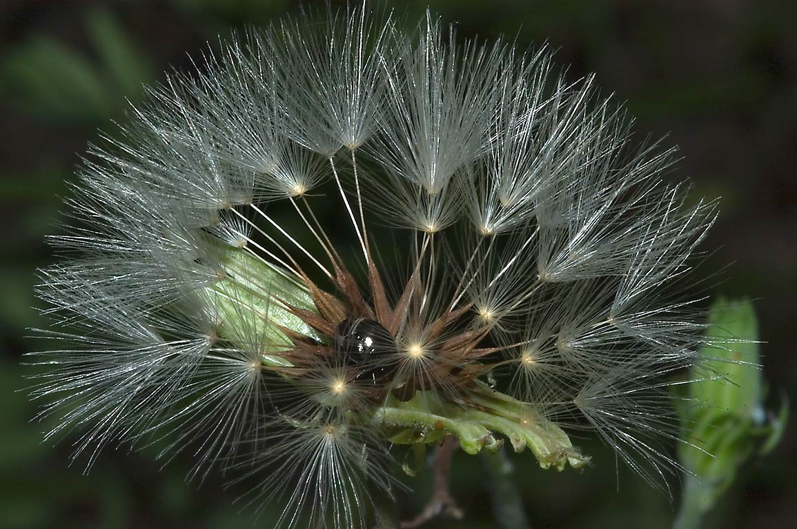 Dandelion seed head near Deer Run Trail in Lick Creek Park. College Station, Texas
