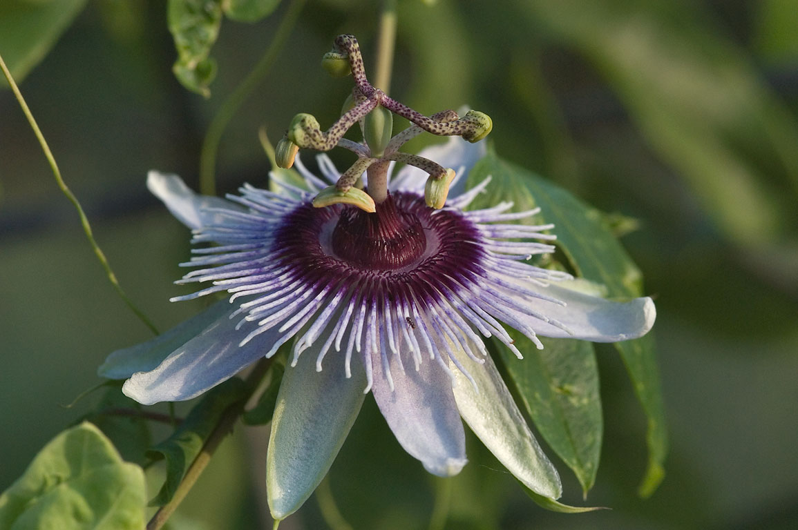 Passiflora (passion flower) in TAMU Holistic...Station, Texas. College Station