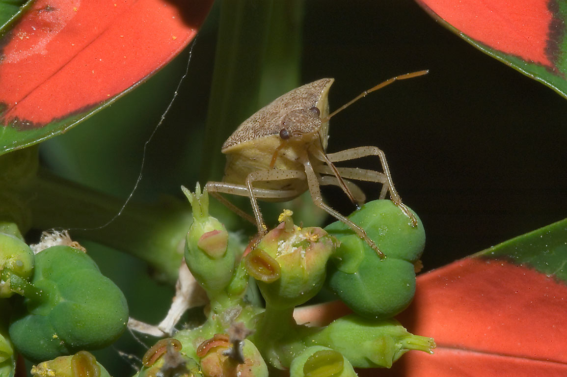 Bug on wild poinsettia in TAMU Holistic Garden in...Station, Texas. College Station