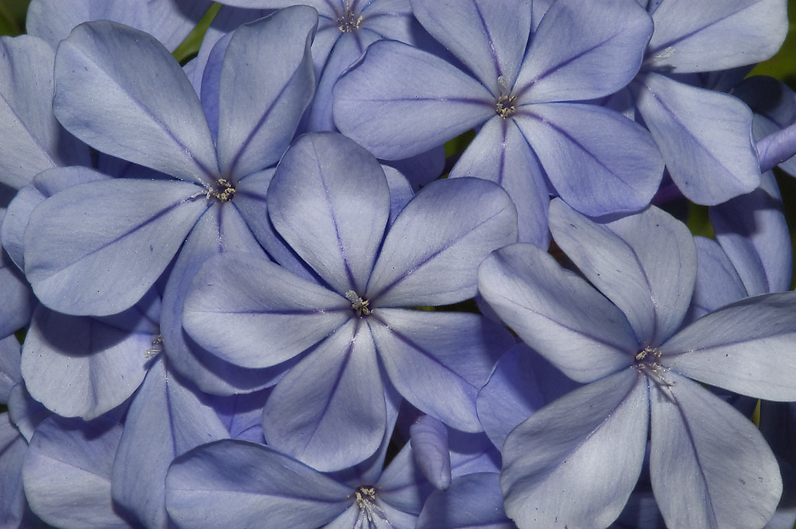 Blue flowers of Plumbago auriculata in TAMU...Station, Texas. College Station