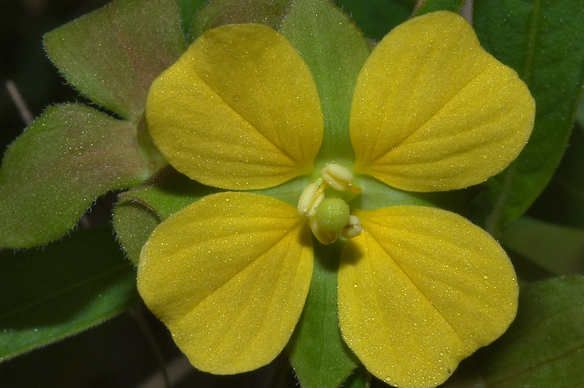 Flower of shrubby water-primrose (Ludwigia octovalvis) in Lick Creek Park. College Station
