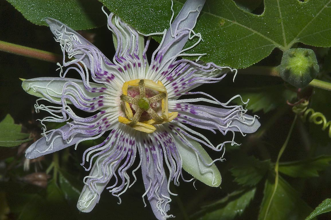 Passion flower (passiflora, maypop) in Lick Creek park, on Deer Run Trail. College Station