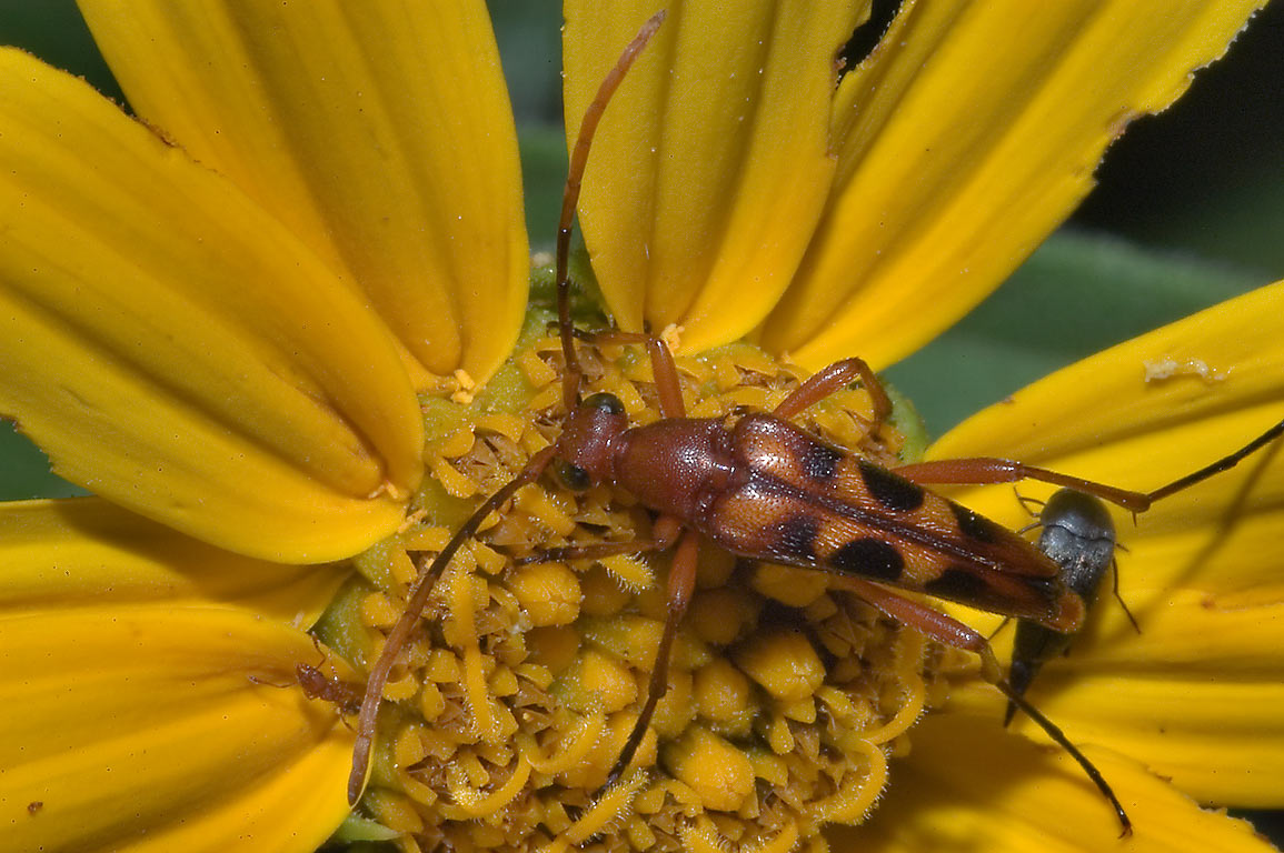 Longhorned beetle (Strangalia) on yellow daisy in...on Deer Run Trail. College Station