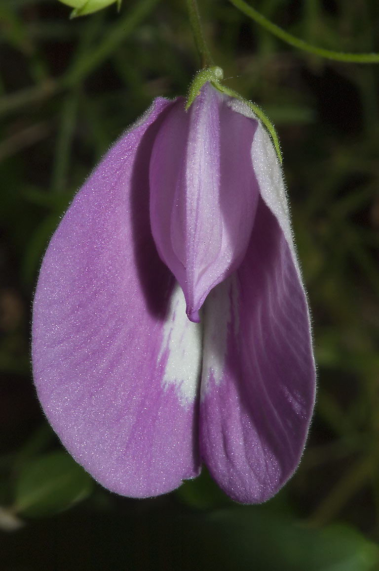 Butterfly pea (Centrosema virginianum) flower in...on Deer Run Trail. College Station